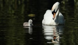 Mute swan. View of a mute swan and signet swimming side by side Stock Images