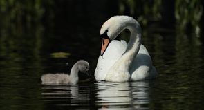 Mute swan. View of a mute swan and signet swimming side by side Stock Photo
