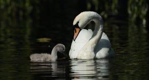 Mute swan. Stock Photo