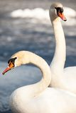 Mute Swan walking in the natural winter environment. Stock Images