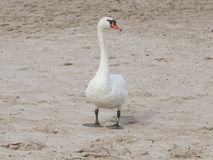 Mute swan walking on sand beach of river Royalty Free Stock Photography