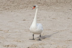 Mute swan walking on sand beach of river Royalty Free Stock Images