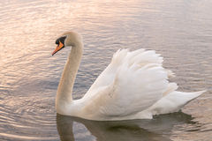 Mute Swan - Warm evening light Royalty Free Stock Images