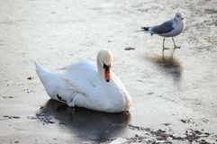 Mute swan in Warsaw. Swan in a Royal Baths Park, large park in Warsaw city centre, Poland stock image