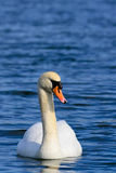 Mute swan on water Royalty Free Stock Images