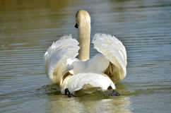 Mute swan on water Stock Images