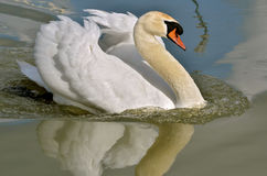 Mute swan on water Stock Image