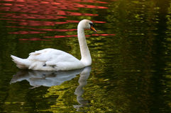 Mute Swan on water Royalty Free Stock Photo