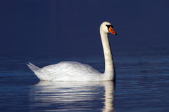 Mute swan on water Stock Photo