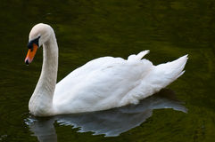 Mute Swan on water. Mute Swan on the water in summer Royalty Free Stock Photography