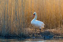 Mute swan at the waters edge Royalty Free Stock Images
