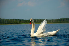 Mute Swan. White swan on blue lake stock images