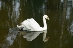 Mute swan. White swan swimming in the pond and reflecting in the water Royalty Free Stock Photos