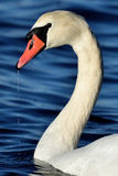 Mute swan. White swan swimming on sea Royalty Free Stock Images