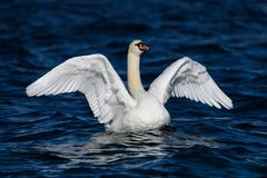 Mute swan with wide wings spread. Mute swan in dark blue water with wide wings spread.The white feathers stand out in the dark water Stock Images