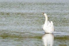 Mute swan Stock Photos