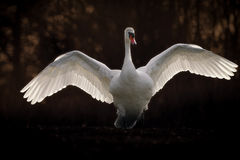 Mute Swan with Wings Spread. A huge mute swan stands on dry land with his gigantic white wings spread wide. Presented on a black background whilst retaining a royalty free stock photography