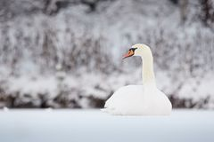 Mute Swan in winter Royalty Free Stock Photos