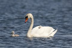 Free Mute Swan With Tired Cygnet On A Blue Lake Stock Images - 148782284