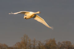Mute Swan & x28;Cygnus Olor& x29; in flight Stock Images