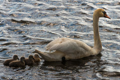 Mute Swan with young animals Royalty Free Stock Image