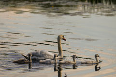 Mute Swan with young animals Royalty Free Stock Images