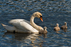 Mute Swan with young birds Royalty Free Stock Photos