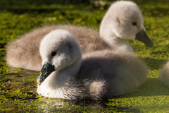 Mute Swan with young birds Royalty Free Stock Image