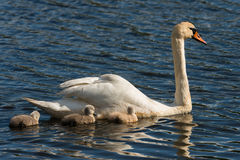 Mute Swan with young birds Stock Photo