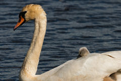 Mute Swan with young birds Royalty Free Stock Photo