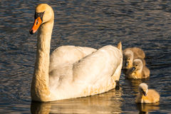 Mute Swan with young birds Stock Photography