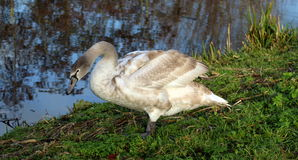 Mute swan young close up Stock Image