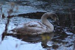 Mute swan young close up Stock Photos