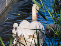 Mute swan and young family Stock Photos