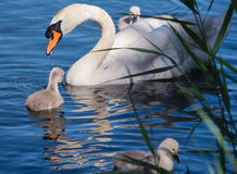 Mute swan and young family Stock Images