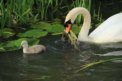 Mute swan with young one. Royalty Free Stock Photo