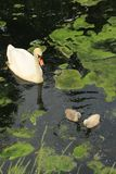 Mute swan with young ones. Stock Images