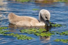 Mute Swan youngster in Danube Delta. Wildlife birds and birdwatching photography and a common sighting for tourists in the Danube Delta, Eastern Europe royalty free stock photography