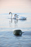 Mute swans Stock Photos