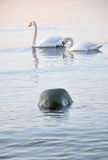 Mute swans Stock Photography