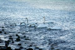 Mute Swans on Atlantic Ocean. Mute Swans Feeding on Gardiners Bay Atlantic Ocean in East Hampton New York Royalty Free Stock Photo