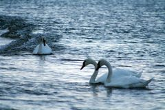 Mute Swans on Atlantic Ocean. Three Mute Swans Swimming Near Shoreline of Gardiners Bay Atlantic Ocean Long Island New York Royalty Free Stock Images