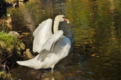 Mute swans - autumn Stock Images