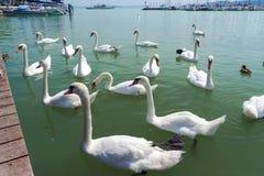 Mute swans at Balatonfured Royalty Free Stock Photos