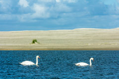 Mute swans at the beach Stock Photography