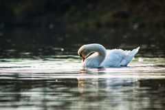 Mute Swans Royalty Free Stock Images