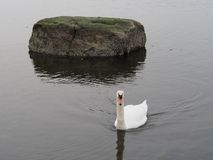 Mute swans in the Bronx Royalty Free Stock Image