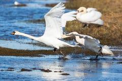 Mute swans chasing Stock Photo