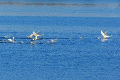 Mute swans chasing each other Royalty Free Stock Photo