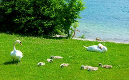 Pair of swans with offspring on the green meadow on the lake shore. Mute swans with children on the Meadow, Cygnus olor, young swans in dark plumage between royalty free stock photo